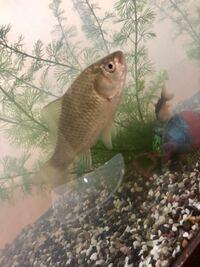 この魚は何かわかる人いますか? 色々調べてもこいなのかフナなのかはっきりわかんなくて
