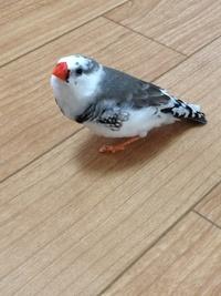 この鳥の種類はなんですか? 今家で飼ってます。ペットショップでは十姉妹として売られていたんですが、大人になるにつれて錦華鳥のような模様が出てきました。鳴き声も「ピッ」じゃなく「ぷぅ 」とか「にゃー」みたいな感じです。 十姉妹と錦華鳥のミックスなのでしょうか?もしそうだとしたら、ペットショップでそんな異種交配が起こり得るんですか?