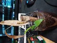 こんなふうに根っこから新しく転生してきた観葉植物はどうすればいいですか? 古い枯れた方と切り分けても大丈夫ですか?