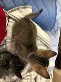 この猫ちゃんはキジトラですか? 麦わら猫ですか? 生後2ヶ月程の猫ちゃんなのですが、もう1匹のキジトラよりも色と柄が全然違うなぁと思っています。 猫ちゃんに詳しい方よろしくお願いします。