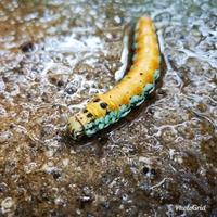 この芋虫はなんの幼虫ですか?  歩いていたら道の上にいました。背中側が黄色、足側が全体的に水色?の色合いでした。 大きさは10cmほど。  調べてもなんの幼虫なのかわからなかったので、 質問させていただきます。6月15日、今朝に発見しました。