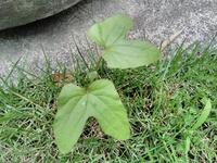 庭の芝生の隅っこに生えてきました。この雑草?の名前を教えてください。よろしくお願いいたします。