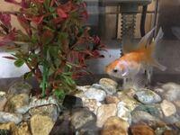 金魚の色が急に白くなった気がします。 家で一匹だけ飼ってる金魚です。よく動くよく食べ元気なのですが急に色が白くなった気がします。点点ではなく全体的にまだらに色が抜けてるかんじです。何かの病気でしょう...
