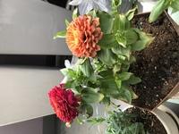 百日草(ジニア)の苗を購入し、植え替えて1週間になります。 マンション3階の明るい日陰に置いていたのですが、葉が枯れてきています。 水のあげ過ぎでしょうか❓ 実家の庭の土を貰ったので すが、あまり水は...