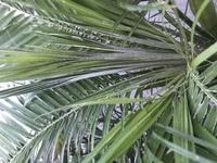 フェニックスロベレニーを外で育てているのですが写真の真ん中の葉が白くなっていてなかなか広がってきません。冬の間はビニールハウスのように組み立てて暖かくしています。 病気なのかもうこ の木は駄目になっ...