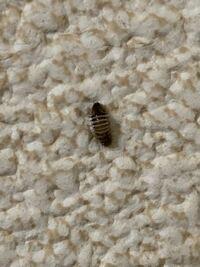 アパートに時々この虫が 出てくるのですが なんの虫か分かりますか?? 潰してもまたどこかから現れて 気持ち悪いです。 3ミリくらいです