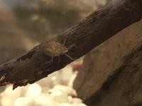 この虫の名前がわかるかたおられませんか?教えて下さい。 田んぼにいました。 体長は1cmほどです。 宜しくお願いします。