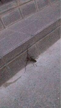 この虫は何ですか(*_*) めっちゃ気持ち悪い。 カマキリ虫の中身ですか? 羽はありました。