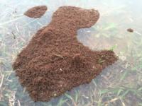 特定外来生物のヒアリは、巣が水没するなどすると、以下の画像のように集団で塊になって蟻桴を作り、陸地に流れ着くまで漂流してやり過ごしますが、人に便乗しなくても、この方法や遭遇した流木などの漂流物を乗...