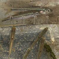 香川県さぬき市の小さな川で捕まえました。 体長5cmくらいです。大きくなると10cmくらいにはなったと思います。 小さい頃はアカマツと呼んでいましたがなんという魚でしょうか?標準和名が分かれば教えてください...