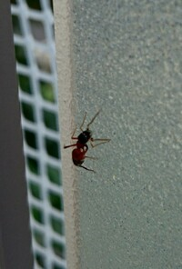 この蟻の種類わかりますか? 結構大きくて、お尻の方が赤茶色でした。 江東区のベランダで発見しました。まさかのヒアリ?