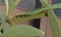この写真の毛虫?はなんの幼虫でしょうか? 蝶? 蛾?