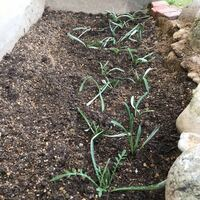 ガザニアの植え替えについて ガザニアをプランターから地面に植えました。市販の培養土25Lと赤玉土10Lを混ぜたのですが、後からネットで調べると川砂やパーライトを混ぜると良いとなっていました。赤玉土でも大丈夫ですか?  また、盛り土にしないといけないのに周りより低くなってしまいました(>_<) 今からでも改善した方がいいでしょうか…?  また、どのように改善したらいいでしょうか?