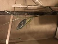 6月中旬にこちらでご相談した、蛹化からやく20日経っても変化なしとしていたキアゲハが羽化しそうです! 5/30に蛹化して変化がなく、6月に入ってから蛹化した他の複数の個体の方が先に羽化して 心配しておりましたが、7/3より少しずつ蛹が変色しだして、現在は羽が透けてきているので、明朝には羽化しそうです。 画像 7/4 23時のものです。  本題ですが、ベストアンサーを選ぶ前に何故か質問...