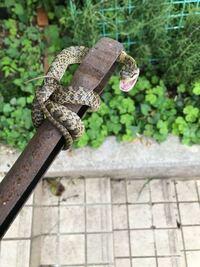 ヘビについて教えて下さい。この写真はマムシですか?頭が三角なので。