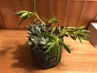 多肉植物の増やし方・挿し木について。現在寄せ植えのものを育てており、縦に伸びてしまっているものを挿し木して、違う鉢に植え替えたいと思っています。しかし、この伸びているものの種類がわ からず、どのよう...