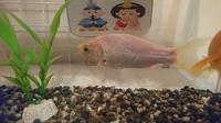 金魚が真っ白になってしまいました。元々は他の金魚と変わらないくらいの赤い金魚だったのですが 徐々に色が落ちていき(?)今はただの白い金魚に…。なにが原因だったのでしょうか?他の金魚も一 緒の水槽で買って...