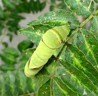 うちのベランダの山椒の葉っぱの上に幼虫が3匹見つかりました。 数日前までは焦げ茶色でもう少し小さかったですが、今日見たら写真のような姿になっていました。これは何の幼虫でしょうか?
