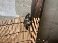 ベランダで羽化した蝶が羽が広がり切らず飛べません。 ふと思ったのですが、下の羽の丸まってる部分を切り落としたら、飛べるようになりますか?