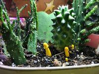 サボテンの鉢の中に黄色いキノコのようなものが生えています。他にもプチプチと黄色い粒が土の中から出ていて、同じものが生えてきそうです。 サボテン達は紫外線ライト(紫のライト)の下で育てています。 サボテンなので、あまり水はやっていませんが、キノコは湿気があるところに生えるものですよね? この黄色いキノコのようなものの正体が分かる方は教えてください。