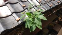 植物に詳しい方に質問です。 この写真の植物は何ですか? 最近、自宅の雨どいに生えてきたようなのですが、植物に詳しくないためにわかりません。 ご存知の方いらっしゃいましたらぜひ教えていただけるとありがた...
