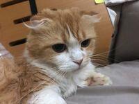 激昂する飼い猫。スコティッシュフォールド×マンチカンの混血。折耳短足マンチカン。掛け合わせが禁止であることを飼った一年後に知りましてそこについても元々心配です。 とても懐かれているとは思うのですが、...