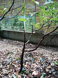 クスノキなど大木系の幼木5本ばかり全滅しました。 異変は1ヶ月ほど前で、葉っぱに黒い点やシミが出始め、枝や幹も黒くなって最終的にボロボロになりました。 他の樹木は元気です。 一体何の病気でしょうか?
