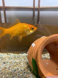 金魚についてです 家で飼っている金魚が目の下?ぽっぺた?あたりが潰れたように見えるのですがこれは何かの病気でしょうか?詳しい方よろしくお願いします