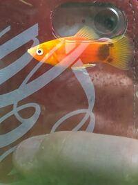 アクアリウム プラティ 熱帯魚 病気 イカリムシ こちらのプラティの尻ビレに付いている細長いのはなんでしょうか?イカリムシでしょうか?