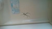 洗面所にいるこの蜘蛛の名前を教えて下さい。 どれくらい生きますか? 洗面所のような所でもネットにエサかかるのでしょうか?