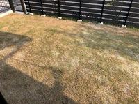 ティフトン芝を植えて丸2年がたちます。 全然綺麗な緑に育ってくれません どうしたら綺麗な緑になるんでしょうか? 枯れているのでしょうか? 水も肥料もあげています 教えて下さい。