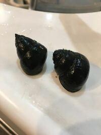 ヒメタニシを探しに行きました!どちらがヒメタニシでしょうか? 違いとしては殻の先がとんがっているのと丸くなっているのです。丸くなっているのは、マルタニシなのかなぁーと自分で判断出来ないのでお願いします!