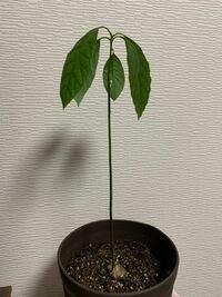 アボカドを水耕栽培から鉢に植え替え 一ヶ月程度経過しました。 日中は日光に当てるようにしてましたが、次第に葉が下がり、元気がないように見えます。 土もネットで調べ、植物活力液など与えますが、水耕栽培のときのように葉が広がりません。 何が要因でしょうか?ちなみに今は室内で栽培しています。
