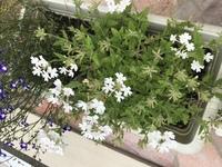 この白い花の名前を教えていただきたいです。  無知で恥ずかしいのですが、とても可愛いお花なので名前が知りたいんです。 わかる方教えていただければ幸いですm(_ _)m
