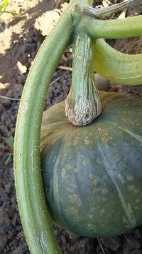 かぼちゃの収穫時期がいまいち分かりません。 このへたの状態は収穫適期でしょうか?