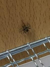 ハムスターが蜘蛛を食べたかもしれません、、、 大丈夫でしょうか??  画像の蜘蛛です。 この蜘蛛は飼っているとまではいかないですが、見かけても、そのままにしていますので、1日に何回 か見かけてましたが、昨日見ていません、、、  ハムスターも心配ですが、蜘蛛も心配です、、、