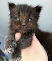 【自由帳】 チューバッカが、こんな猫の姿になっちゃったからハン・ソロに合わす顔が無いです!どうしたら良いですか? チューイ! ネコにゃんヾ(=゚・゚=)ノニャン♪︎