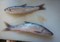 この魚は何という魚ですか? 静岡県浜名湖の堤防から釣ってきました。大きさは25センチ弱です。  また、どうやって食べると美味しいですか?