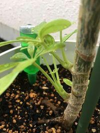 カポックの幹の下の方から新しい芽が出てきました。 これを切り取って土に植えたら、成長しますか?  もしこれが成長しないのであれば、残しておくのはあまり良くないのでしょうか? 栄養を新芽に取られて、上の葉っぱが枯れたりするのは避けたいんです。  ちなみに、全体は60cmほどです。