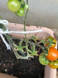 トマトのヘタがこんな感じに茶色くなってるんですけどなんていう病気ですか?