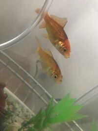 金魚を2匹飼っています。 買い始めて1ヶ月もたっていないのですが、徐々に背中側〜〜背びれあたりが黒くなっています。 斑点状ではないので黒斑病?ではないと思うのですが、これはなんでしょうか。何か対策をし...