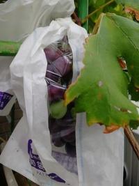 家庭菜園で、ぶどう(巨峰)を育てています。 今年、初めて実がなりました。 そして、実は緑色から紫色に変わったのですが、収穫はいつすればいいのでしょうか? 紫色になったらすぐにOKなのか、紫色になってから一定期間待たないといけないのか、わかりません。。。 どなたか教えて下さい。