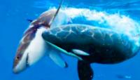 シャチは人間を捕食することはまずないのですか? なぜですかね。  人食いサメとしてホオジロザメやハンマーヘッドシャークなどが恐ろしいイメージがありますよね、人が襲われた事例もけして少なくないようです。  ですが、そんなホオジロザメもシャチと戦ったら、まずシャチが圧勝してしまうそうです。 それだけシャチは強いのだとも。  ですが、シャチが人間を襲って捕食したという事例はあまり聞かな...
