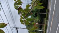 アオダモを今年の2月に植えました。 一ヶ月前位から全体的に葉先が茶色に変色し始めて様子がおかしいです。  病気、水不足?? 原因、対処法等教えて下さい。  宜しくお願い致します。