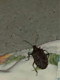 【虫!閲覧注意】 この虫が家にいました。 なんでしょう? 昨日取り込んだまま放置していた洗濯物にくっ付いていました。 ずーーーっと居たとは限りませんが… くっ付いていた洗濯物ごとベランダに投げて放置しています笑  卵産みつけられたりとかしてないか考えるだけで気持ち悪い(T ^ T) 赤ちゃんがいるので、変な虫だったら心配です。