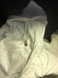 これはチャバネゴキブリでしょうか?米つぶ並みに小さいのにゴキブリの赤ちゃんにしては形が成虫みたいなんです。 ちなみに長野県のかなり寒い地方なので、今まで(ゴキブリは出たことのない地域です。