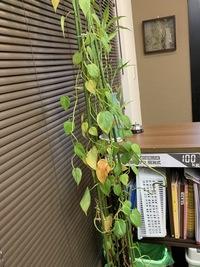 写真の植物の名前わかる方いらっしゃいますか?  室内の日の当たらない場所に置いているのですが、枯葉が多いというか元気がないようにみえます。  職場に置いてある植物です。 よろしくお 願いします。