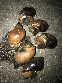 この貝の名前を教えてください。 また、食用可でしょうか?  採取地:新潟 海 殻長:4〜5cm