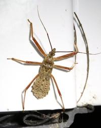この昆虫の名前を教えてください。 カメムシの幼体?成体?と思いますが、、、。 神奈川県での撮影です。 よろしくお願いいたします。