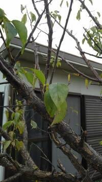 知人宅の庭の木です。 梅かあんずか分からないそうです。 この写真で判断できるでしょうか? お分かりの方、よろしくお願いたします。